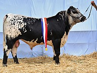 Junior Champion Bull Almarlea Lacerta J32 Almarlea Speckle Park