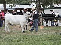 Almarlea E7 Lacey K14 in the ring Almarlea Speckle Park