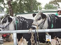 Bulls ring side